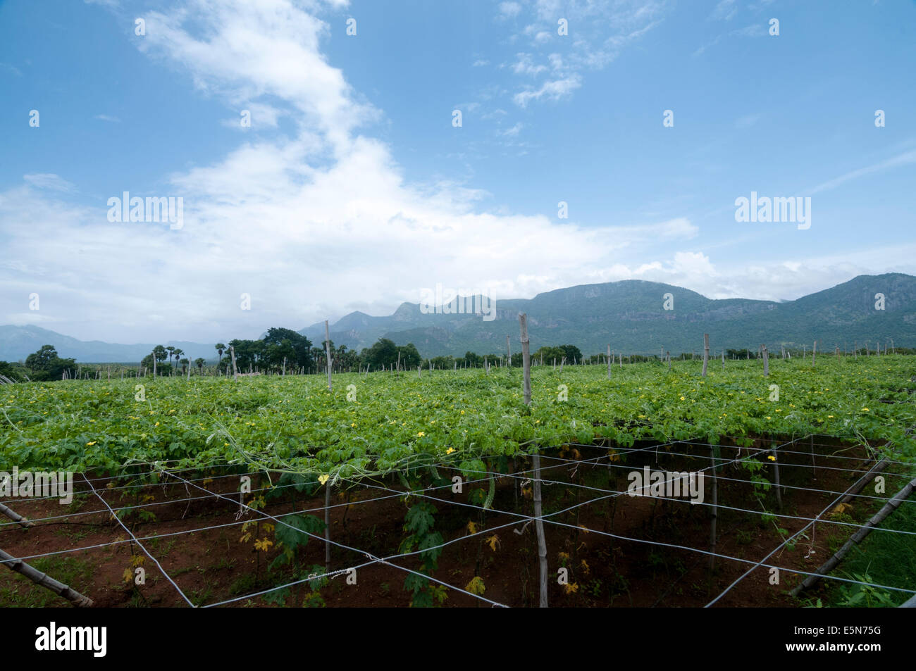 Bitter gourd cultivation in palakkad - Stock Image