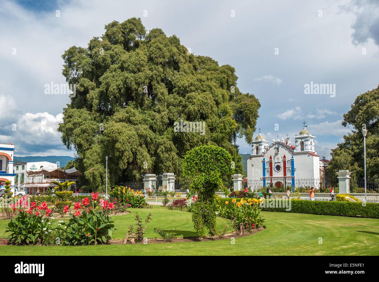 Arbol del Tule, a giant sacred tree in Tule, Oaxaca, Mexico - Stock Image