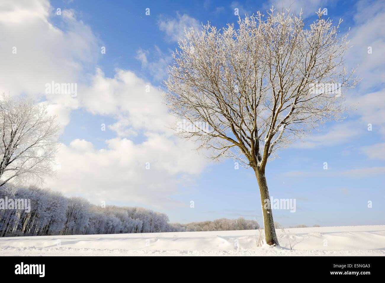 Pedunculate Oak (Quercus robur, Quercus pedunculata) in winter, North Rhine-Westphalia, Germany - Stock Image