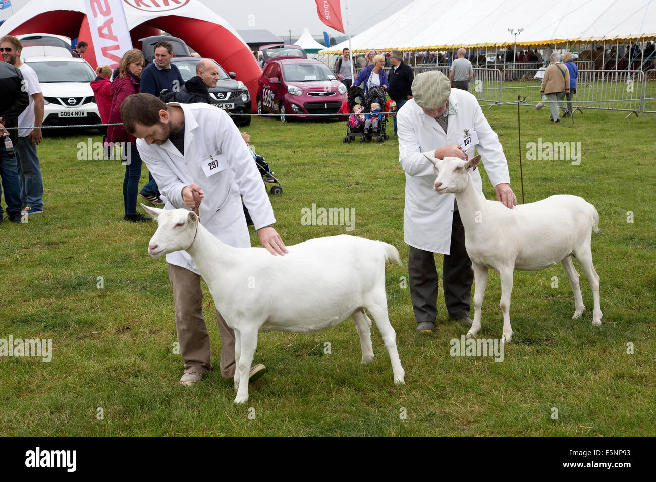 Goat judging competition in large English agricultural and craft show - Stock Image