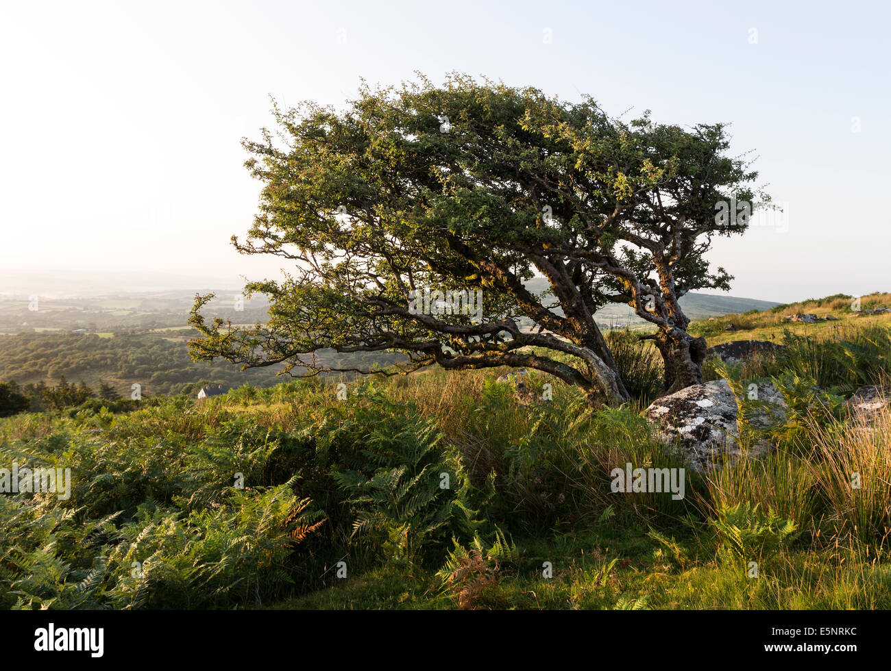 Common Hawthorn Tree Crataegus monogyna Shaped by the Prevailing Wind on Bodmin Moor Cornwall UK - Stock Image