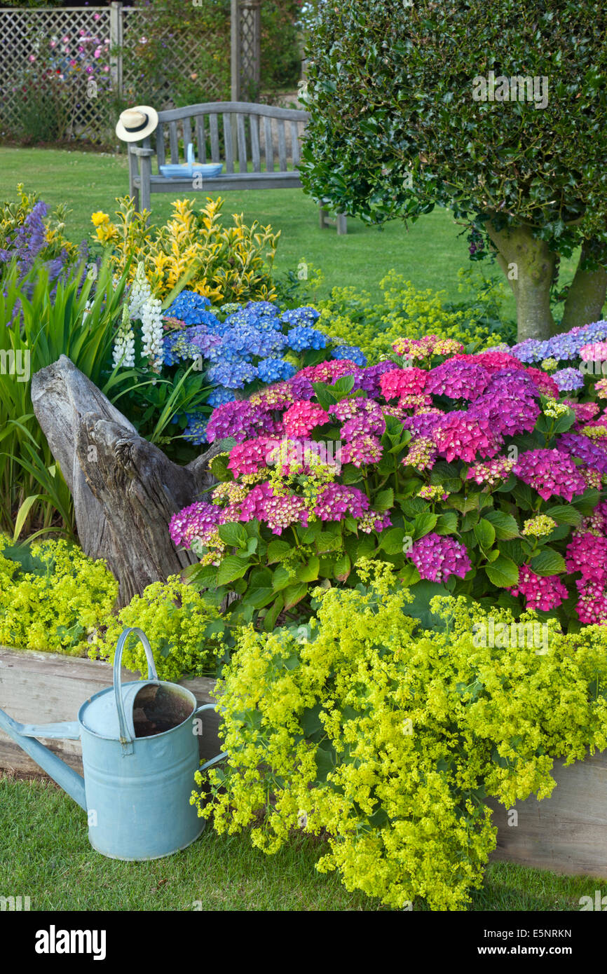 Hydrangeas in border with gardening tools late June Norfolk - Stock Image