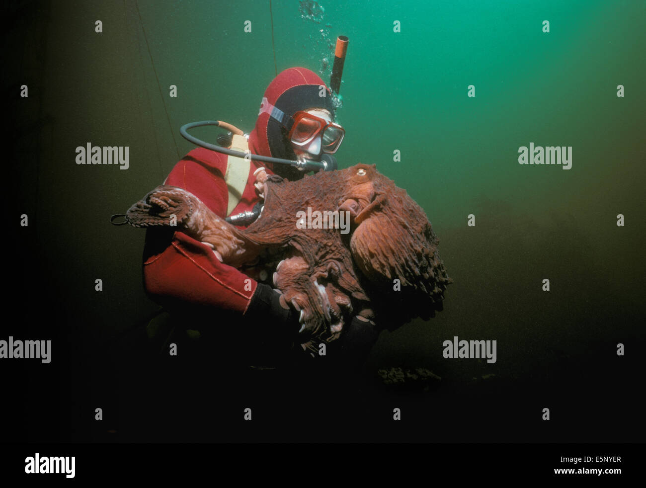Diver interacts with Giant Pacific Octopus (Octopus dofleini), Vancouver Island, British Columbia (Canada) - North Stock Photo