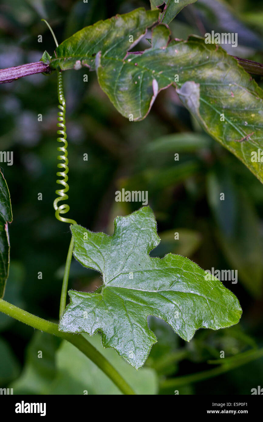White bryony (Bryonia dioica) five-pointed leaves of perennial climbing vine - Stock Image
