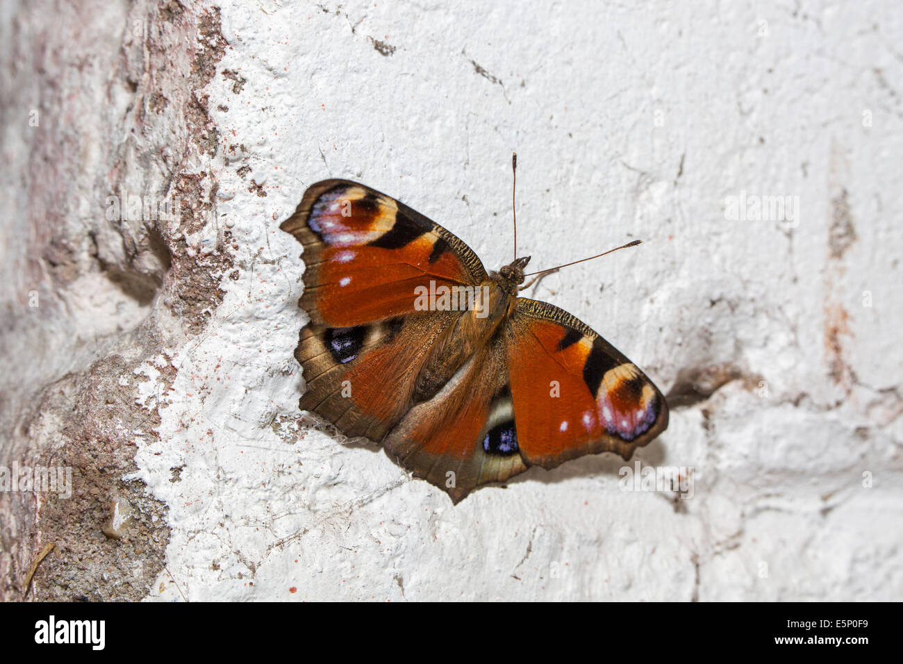 European Peacock (Inachis io) butterfly hibernating on wall in cellar of house in winter - Stock Image