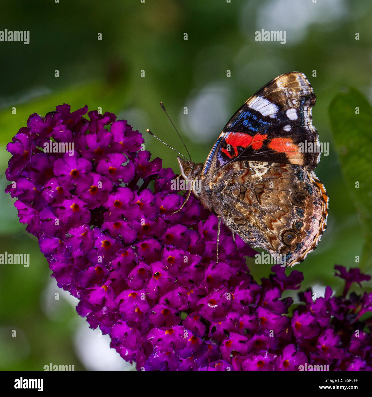 Red Admiral (Vanessa atalanta) butterfly on summer lilac (Buddleja davidii / Buddleia davidii) in flower - Stock Image