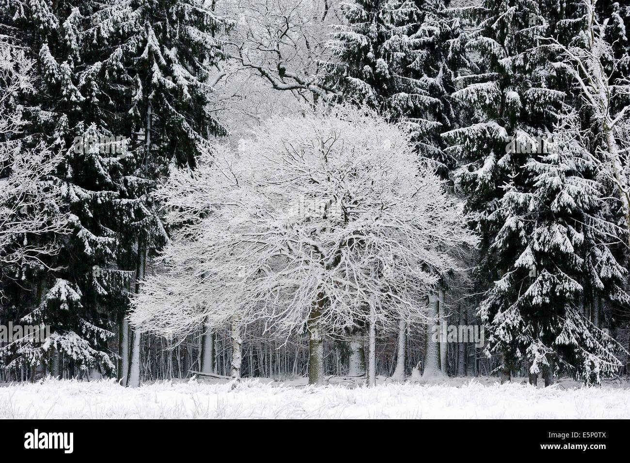 Pedunculate Oak (Quercus robur, Quercus pedunculata) and Norway Spruce (Picea abies) in winter, North Rhine-Westphalia, - Stock Image