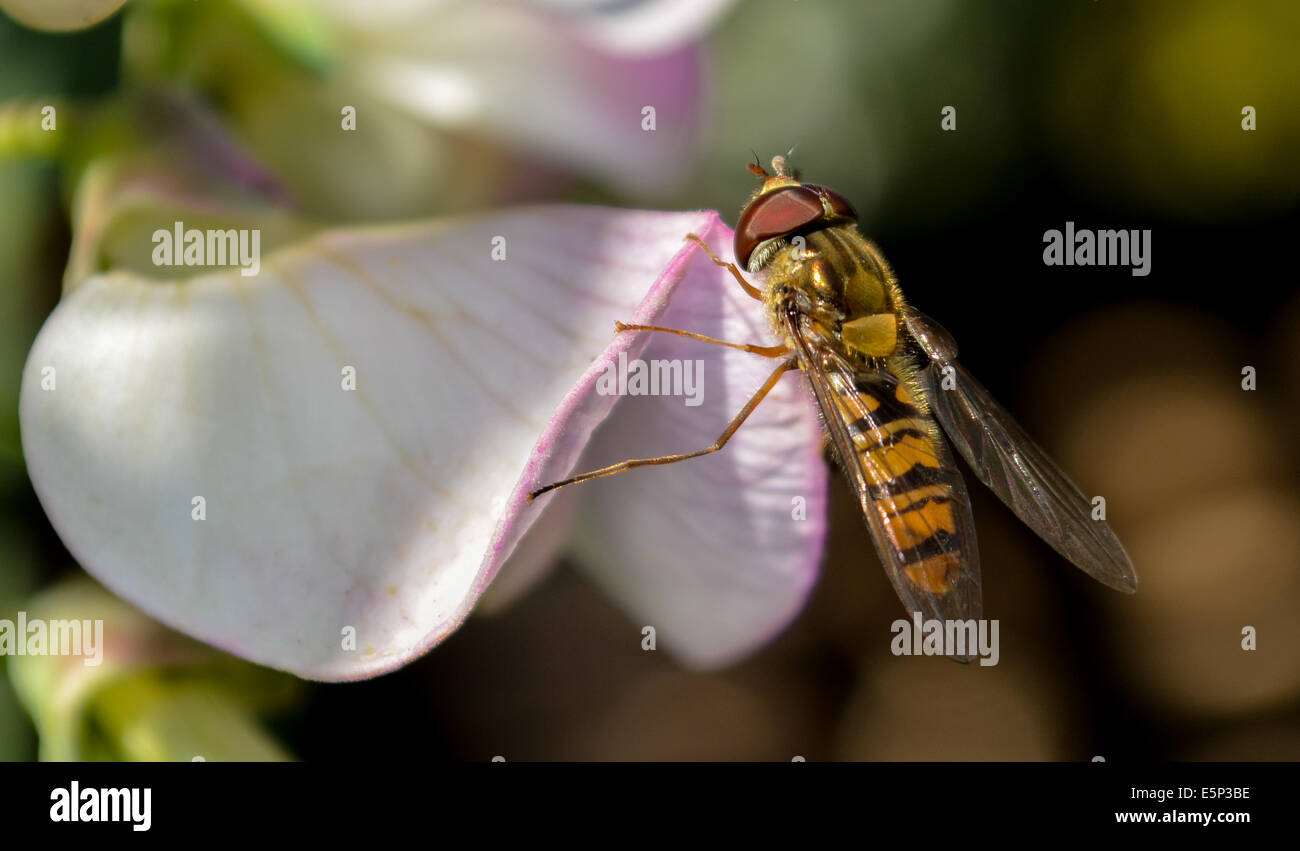 Hoverfly on sweat pea flower - Stock Image