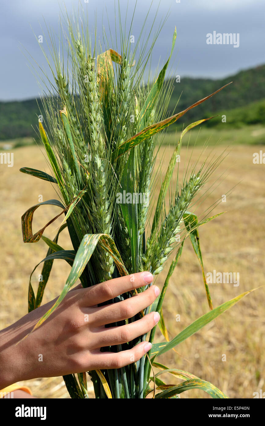 ripe green ears to hold - Stock Image