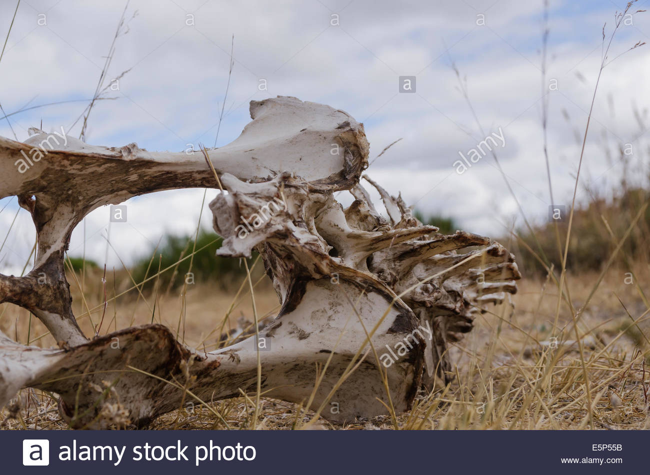 Bones with rotten meat. Skeleton of a vertebrate animal lying on the ground. - Stock Image