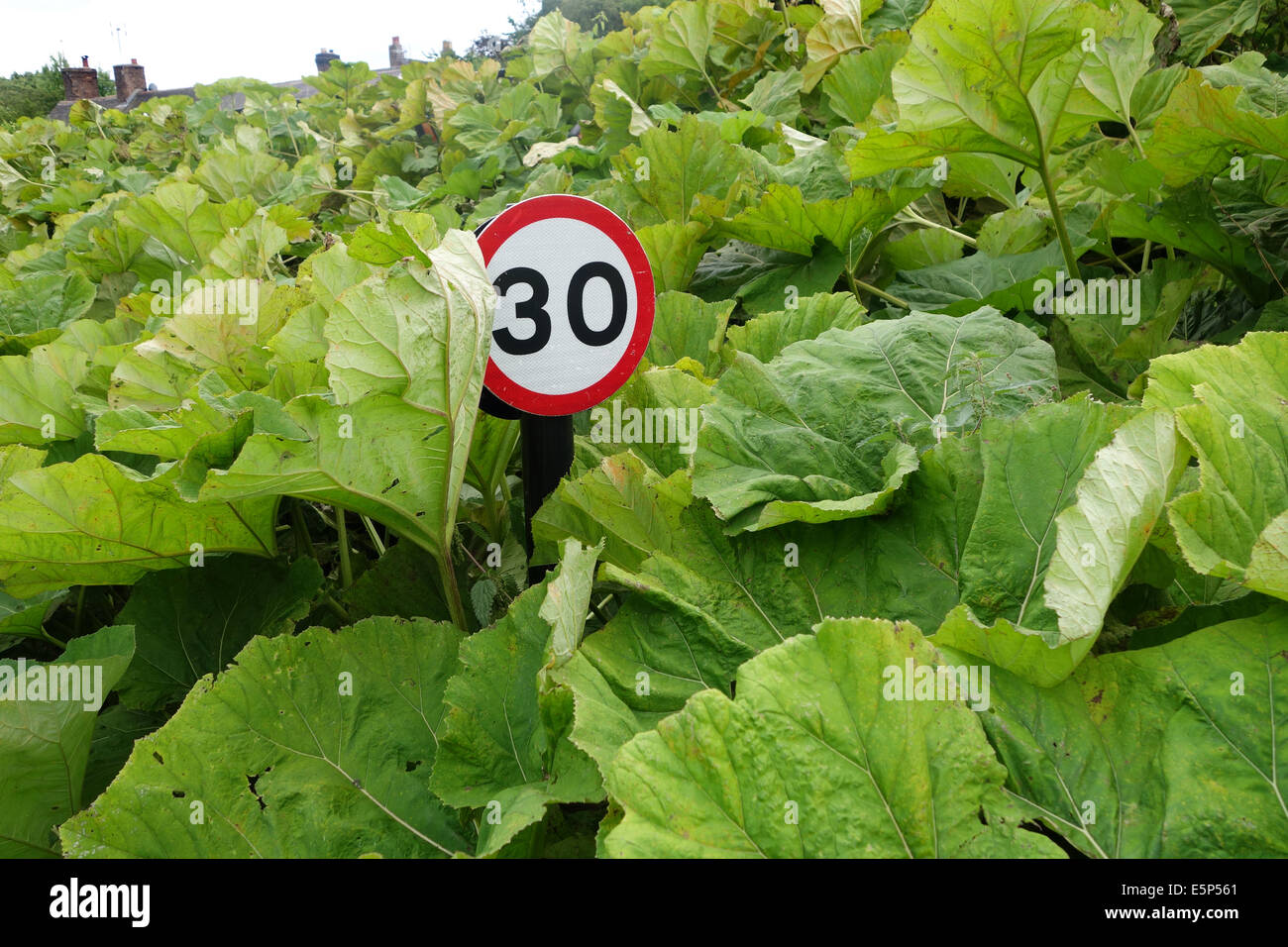 Road traffic speed limit sign hidden badly maintained 30mph uk - Stock Image