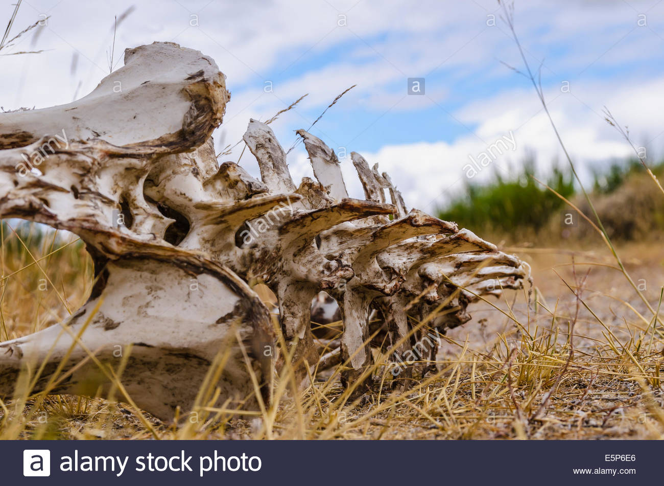 Skeleton of a vertebrate animal lying on the ground. Bones with rotten meat. - Stock Image