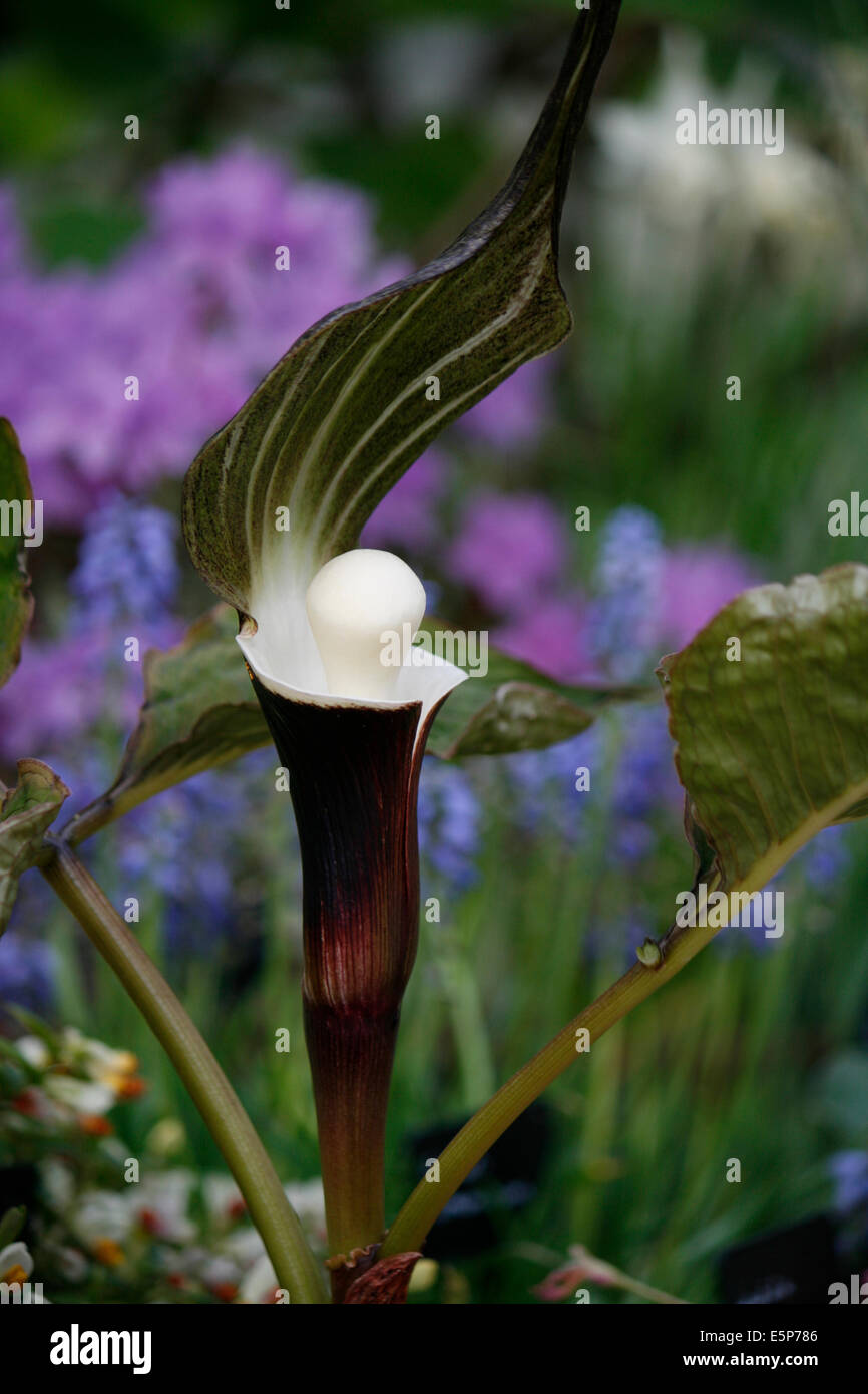 Arisaema, sikokianum, otherwise known as Jack in the Pulpit or the Snow Rice Cake Plant. Stock Photo