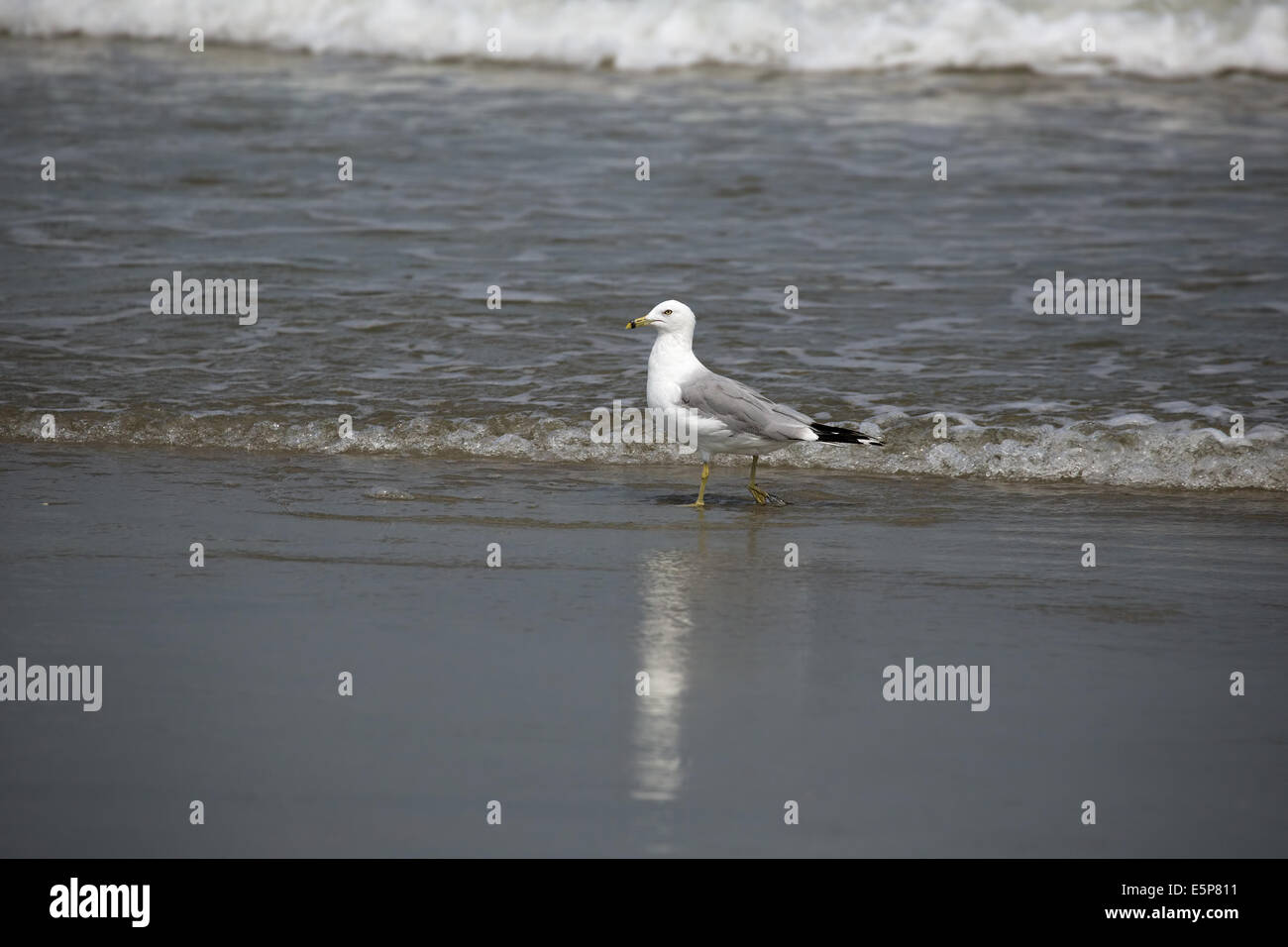 Seagull In The Surf On Garden City South Carolina Seashore