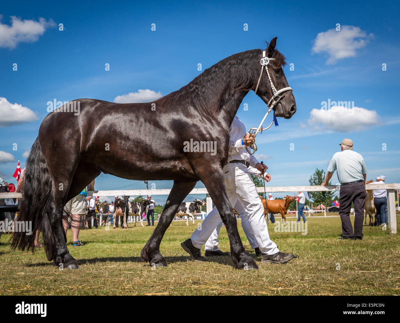 Showing horses at Funen Agricultural show,  Odense, Denmark - Stock Image