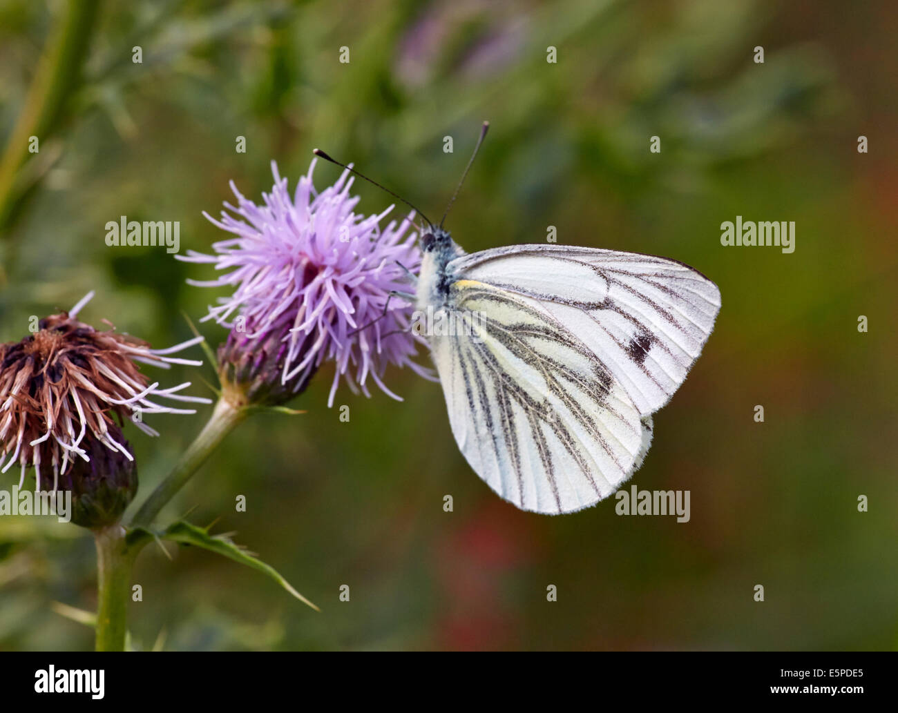 Green-Veined White butterfly on thistle flower. Bookham Common, Surrey, England. - Stock Image