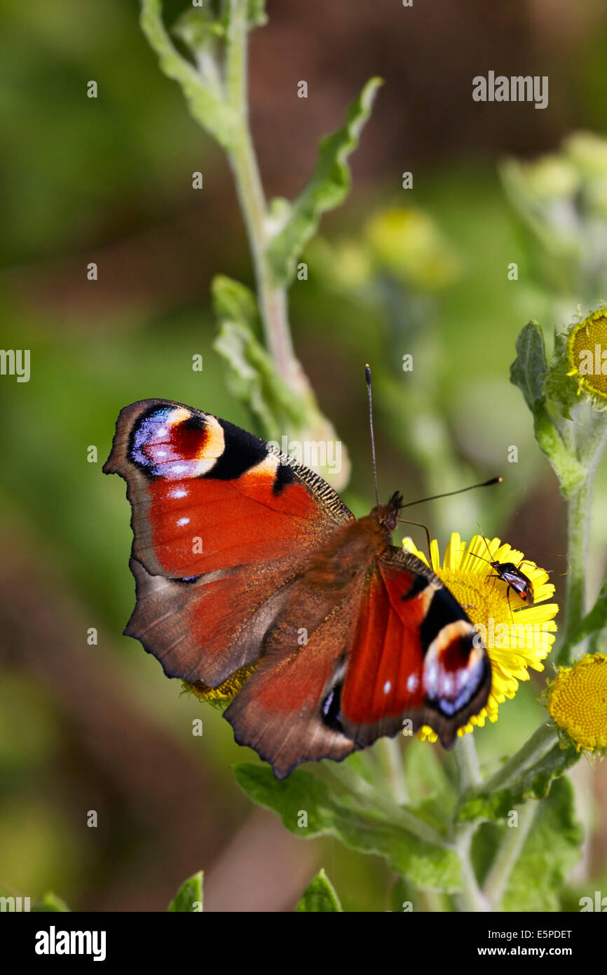 Peacock butterfly feeding on common fleabane.  Oaken Wood, Chiddingfold, Surrey, England. - Stock Image