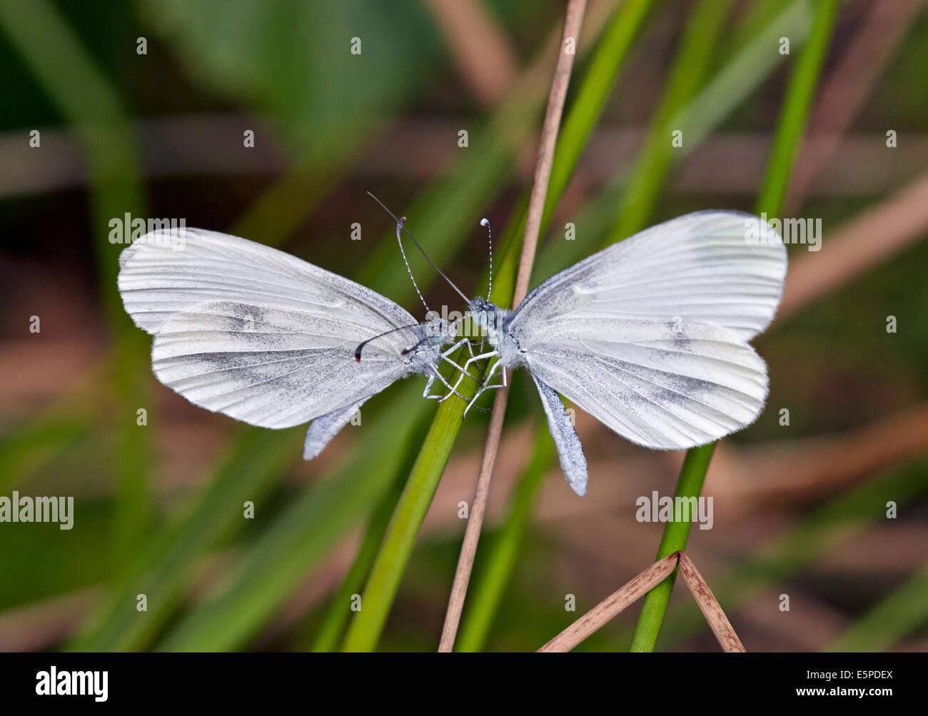 Courtship ritual of Wood White butterflies. Oaken Wood, Chiddingfold, Surrey, England. - Stock Image