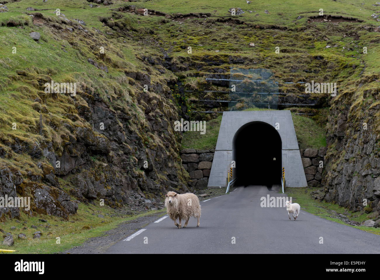 Sheep in front of the single-track tunnel between Husar and Mikladalur, Kalsoy, Faroe Islands, Denmark - Stock Image