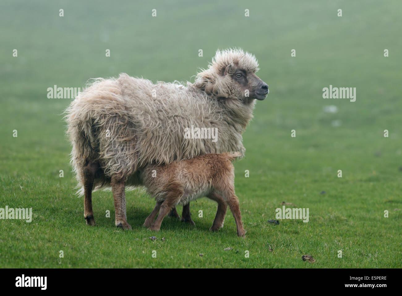 Ewe with lamb, Mykines, Útoyggjar, Outer Islands, Faroe Islands, Denmark - Stock Image