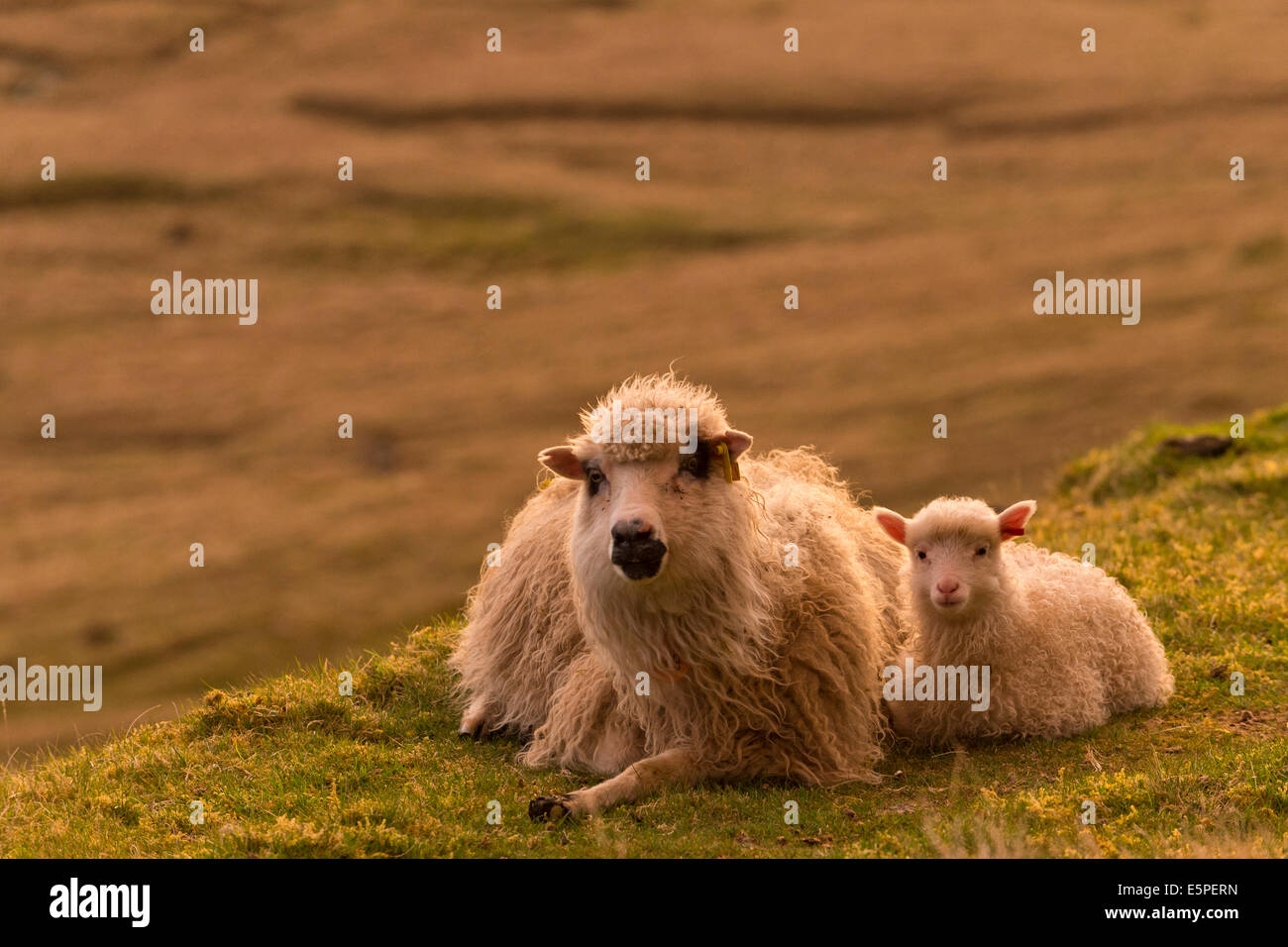 Ewe with lamb, lying down, evening mood, Faroe Islands, Denmark - Stock Image