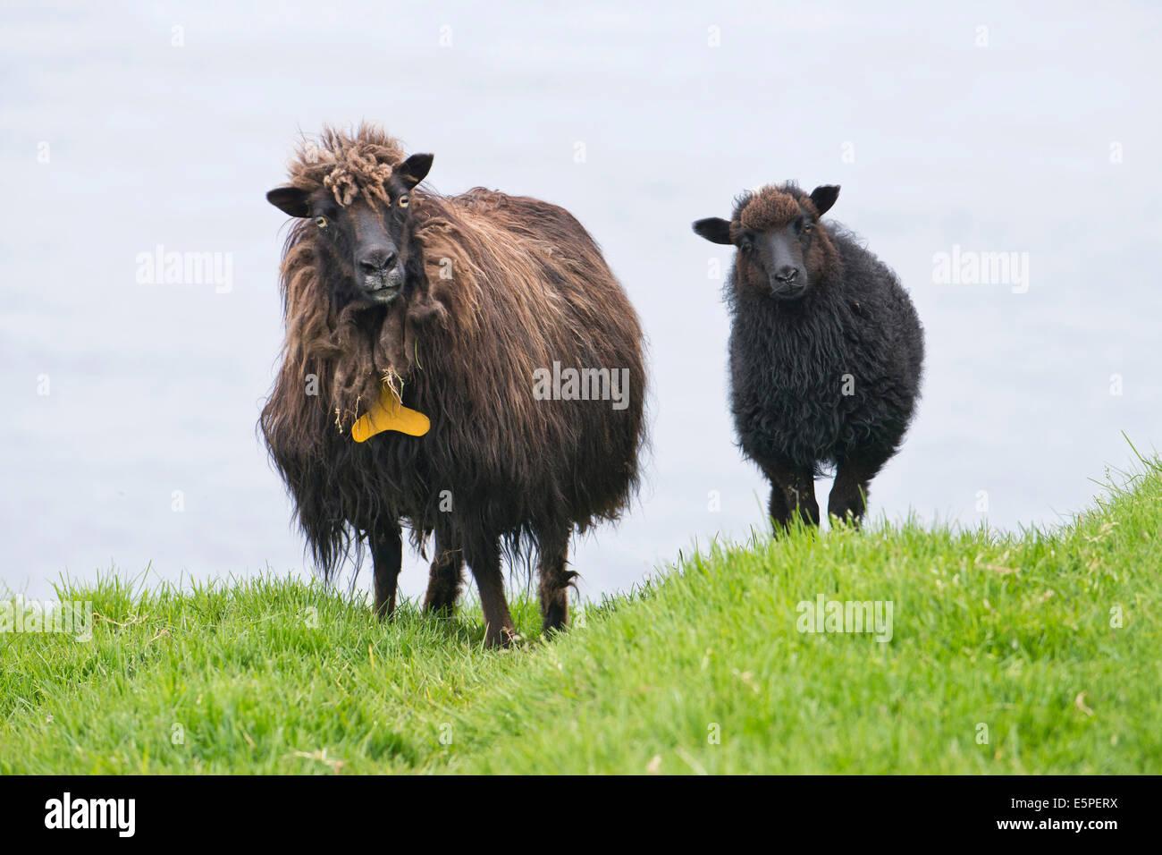 Ewe with lamb, Faroe Islands, Denmark - Stock Image