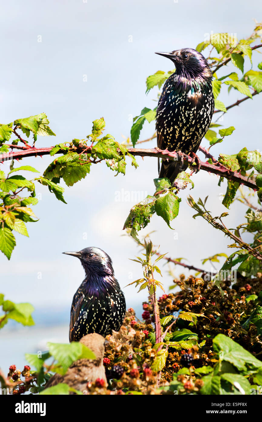 Two Starlings, Latin name Sturnidae, perched on brambles, Southsea, Hampshire. - Stock Image