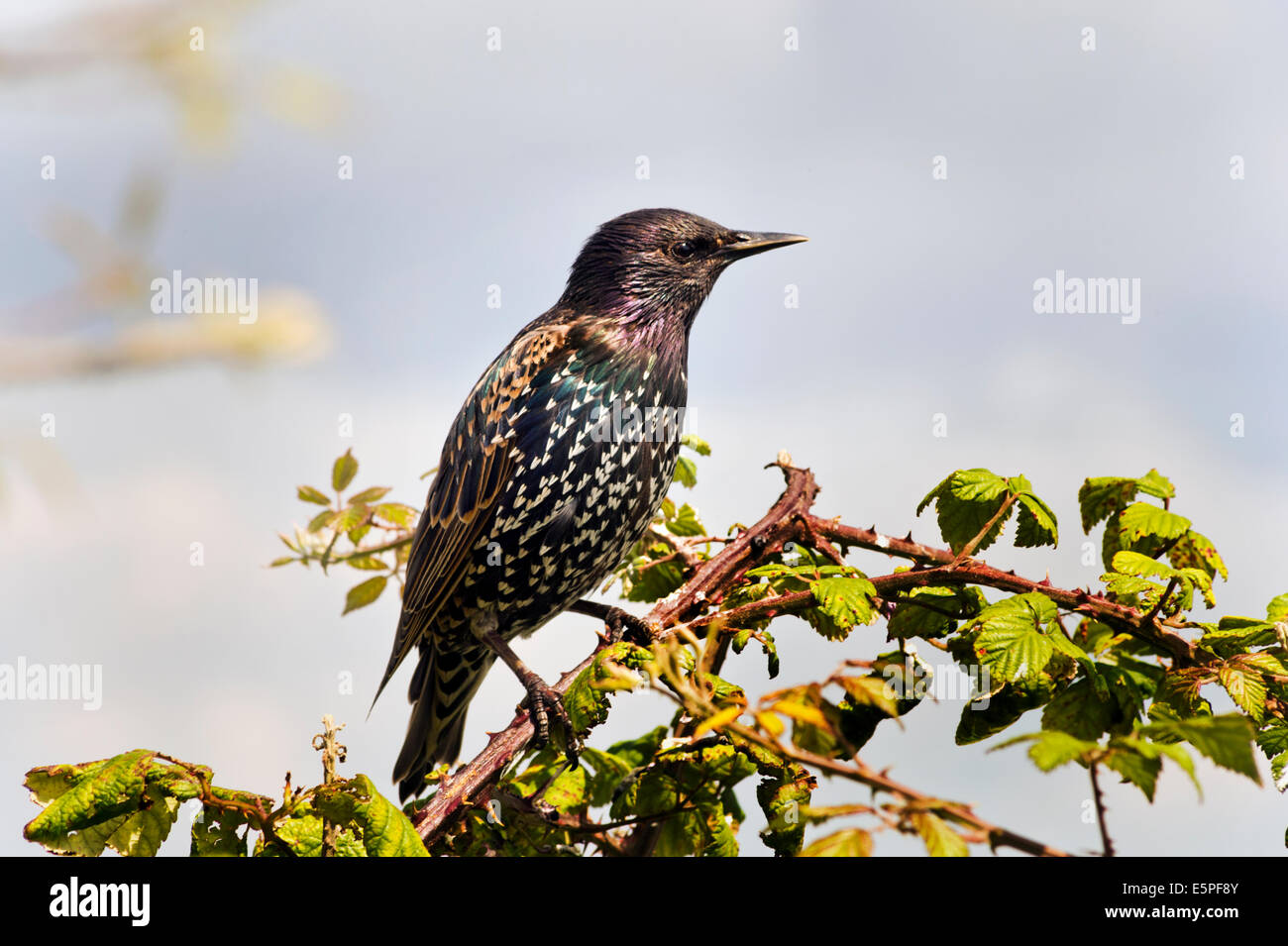 Starling, Latin name Sturnidae, perched on brambles, Southsea, Hampshire. - Stock Image