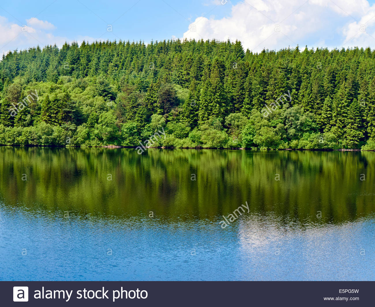 forest of conifer trees reflected in the water at Taf Fechan Pontsticill Reservoir Dolygaer Lake Brecon beacons Stock Photo