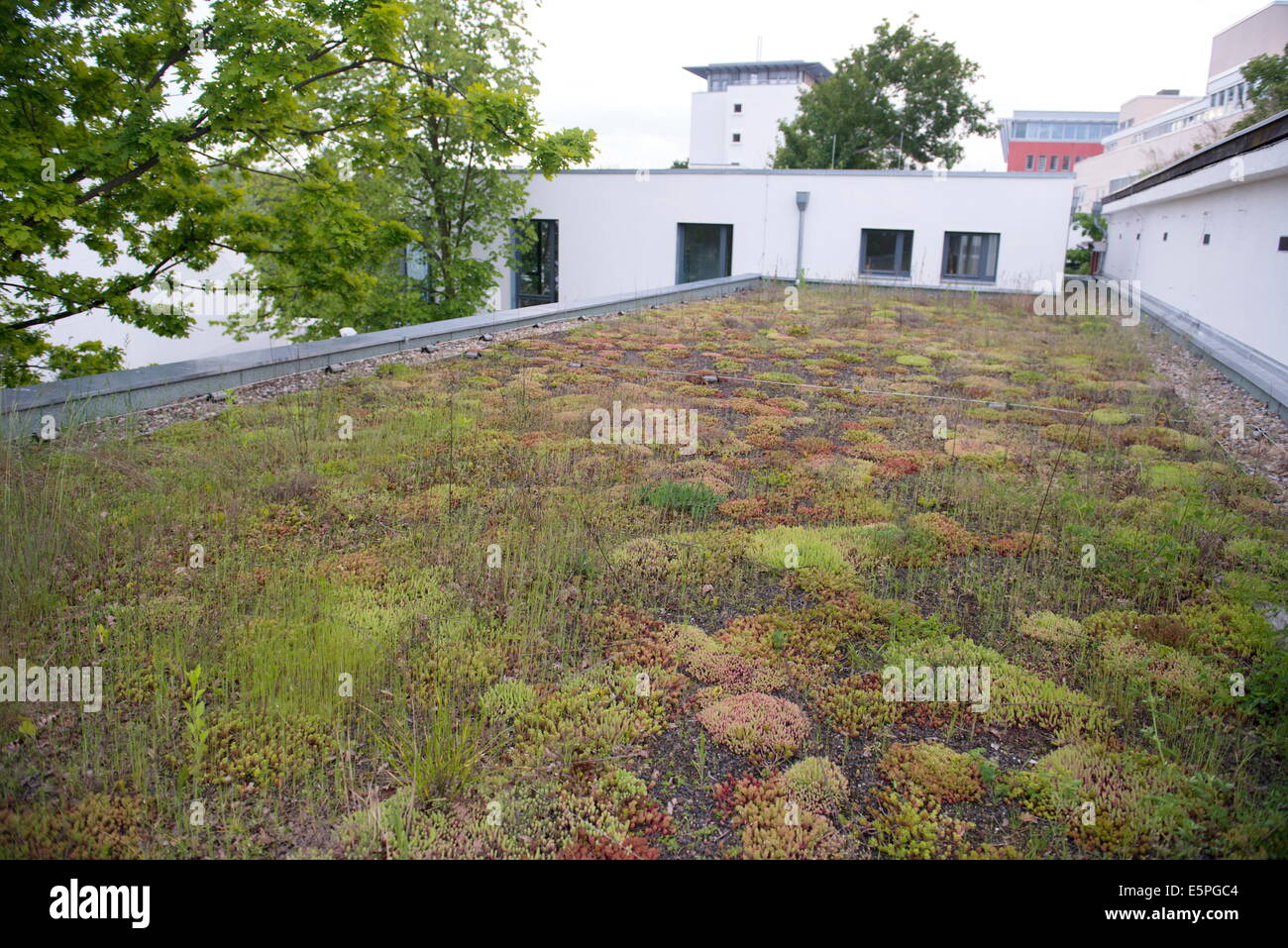 Typical extensive mixed Sedum species green roof, Berlin, Germany, Europe - Stock Image