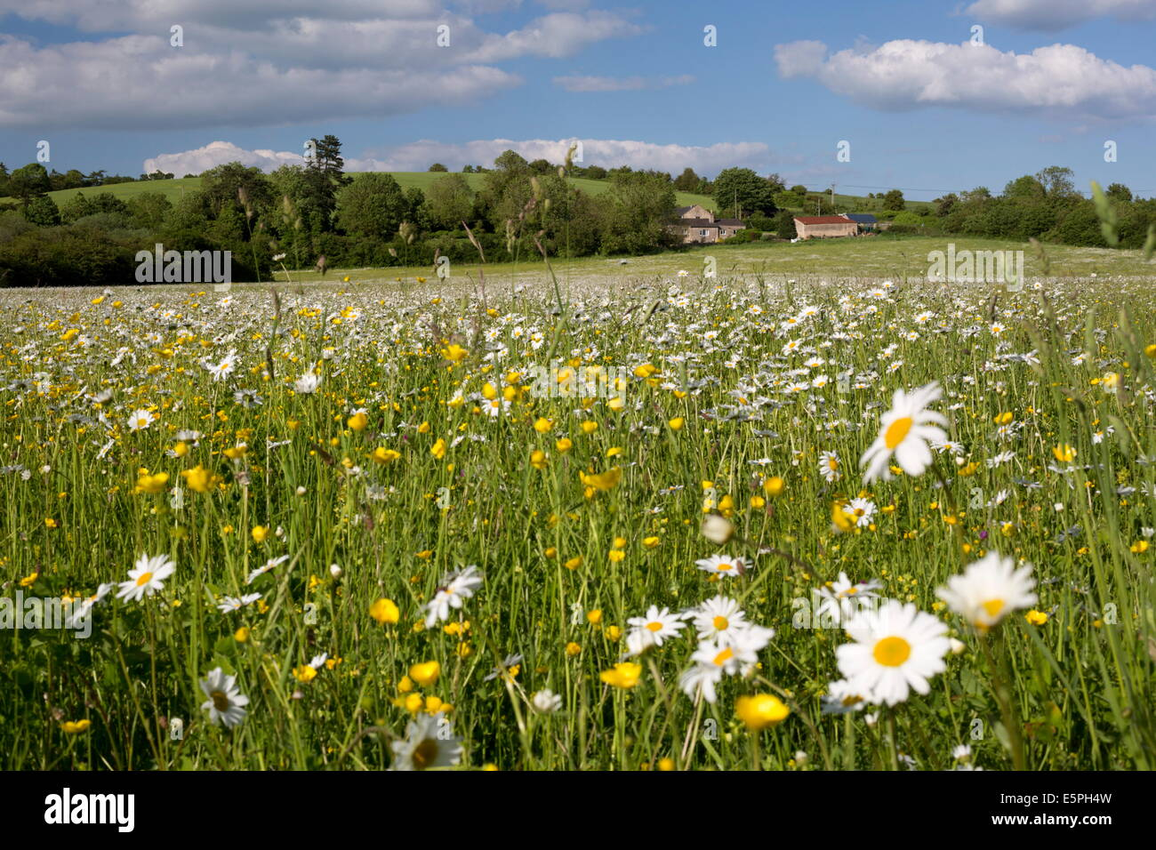 Summer meadow with daisies and buttercups, Syreford, Cotswolds, Gloucestershire, England, United Kingdom, Europe - Stock Image