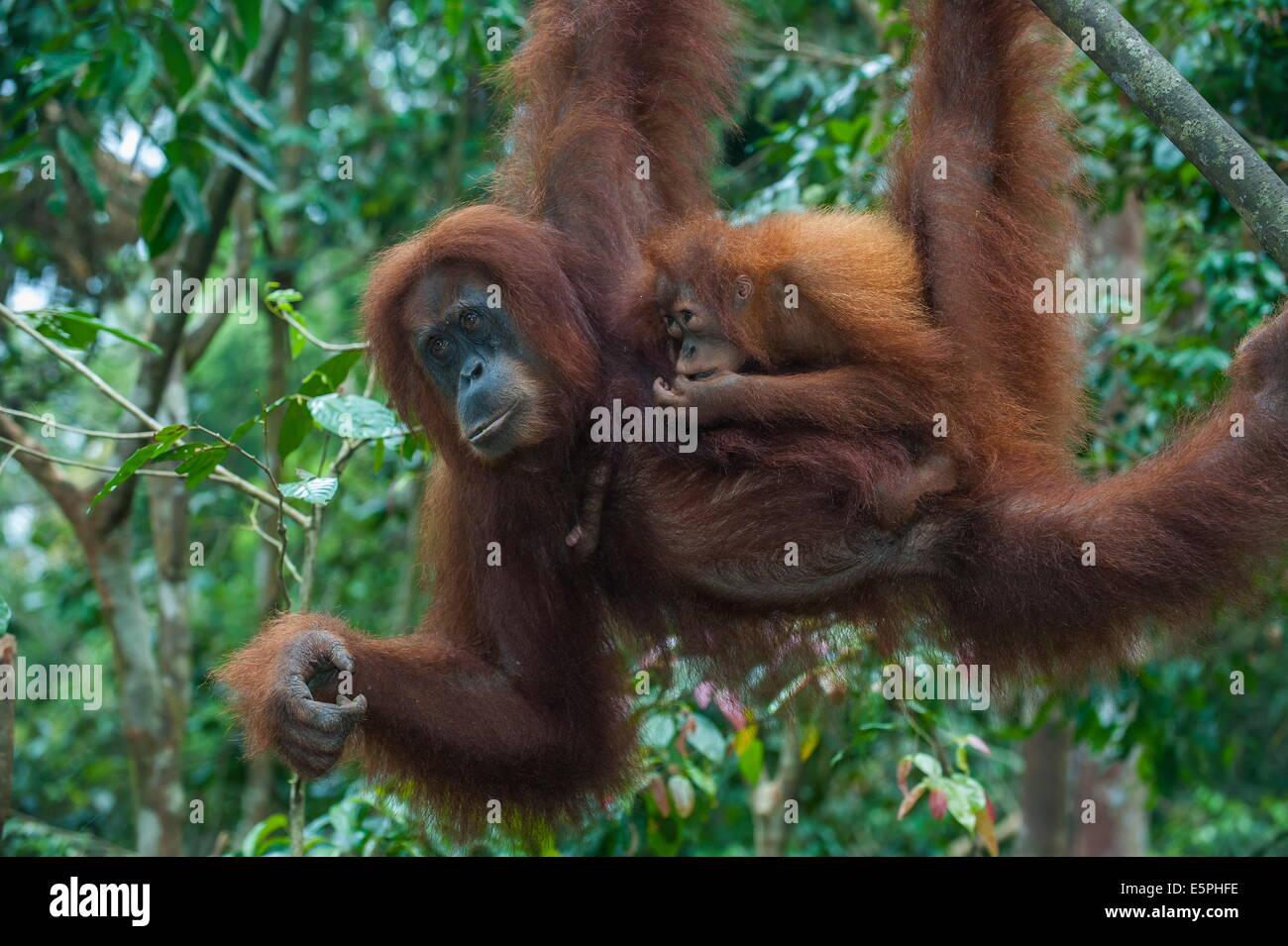 Mother and baby Sumatran orangutan (Pongo abelii), Bukit Lawang Orang Utan Rehabilitation station, Sumatra, Indonesia Stock Photo