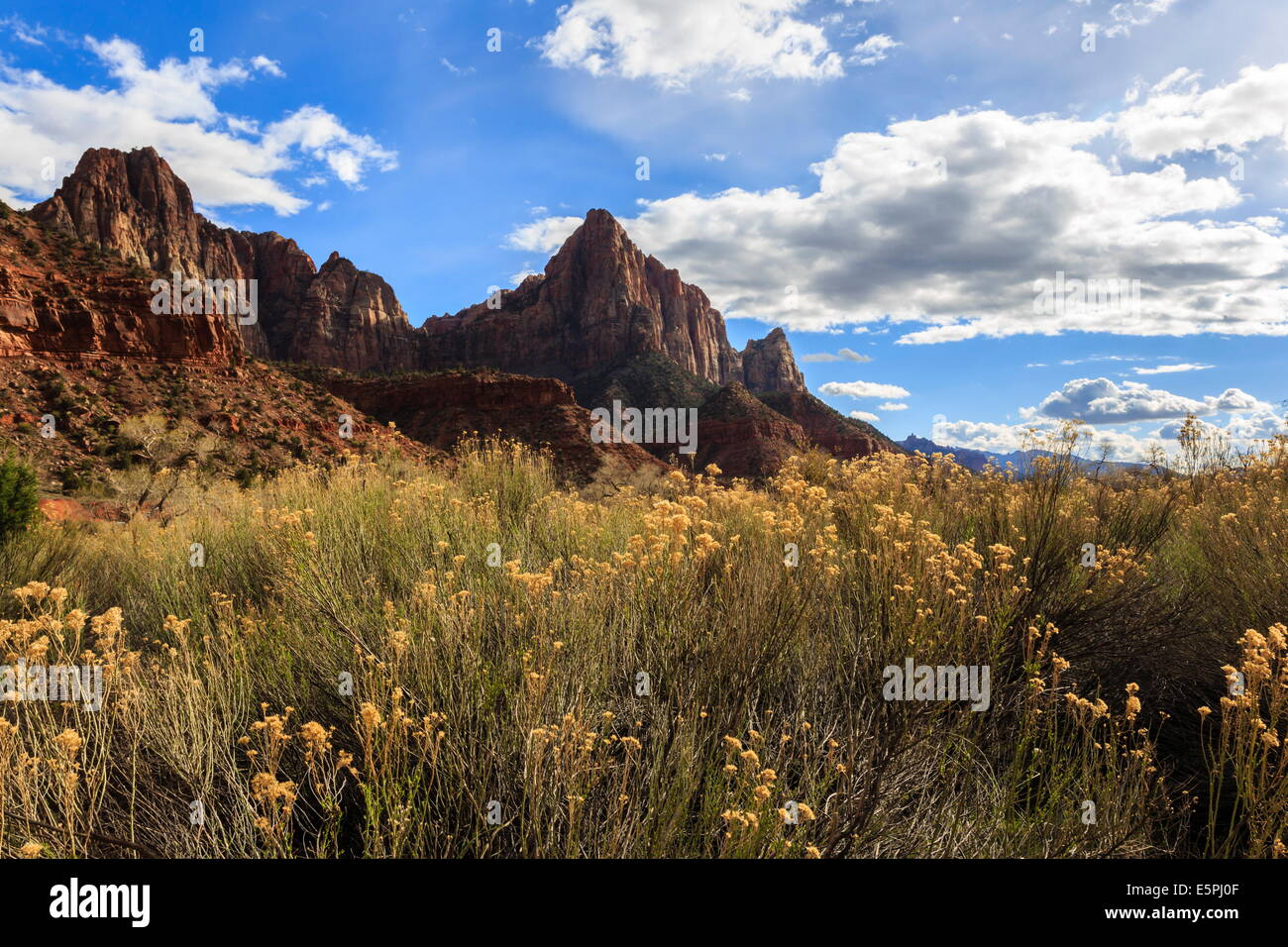 Desert brush and the Watchman in winter, Zion Canyon, Zion National Park, Utah, United States of America, North - Stock Image
