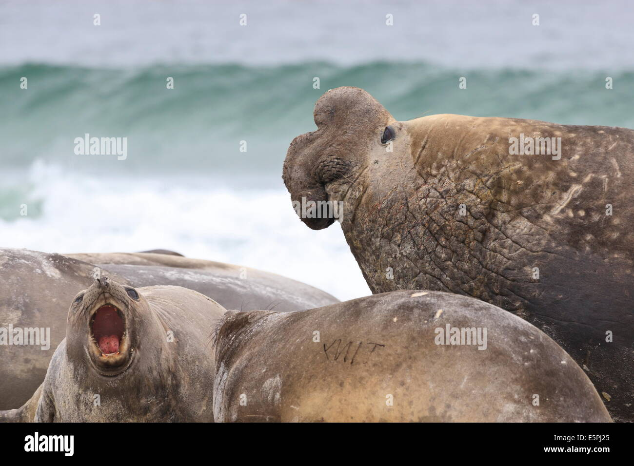 Southern elephant seal (Mirounga leonina) bull rules the harem during breeding season, Sea Lion Island, Falkland - Stock Image