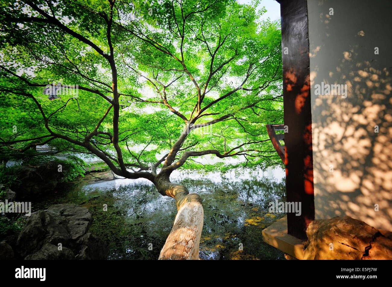 Tree reaching out into one of the many lakes in a park at West Lake, Hangzhou, Zhejiang, China, Asia - Stock Image