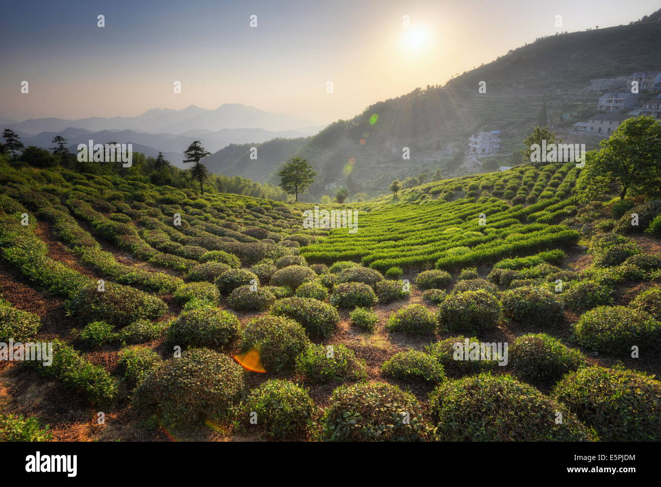 Sprawling tea fields in the mountains of Zhejiang province, China, Asia - Stock Image