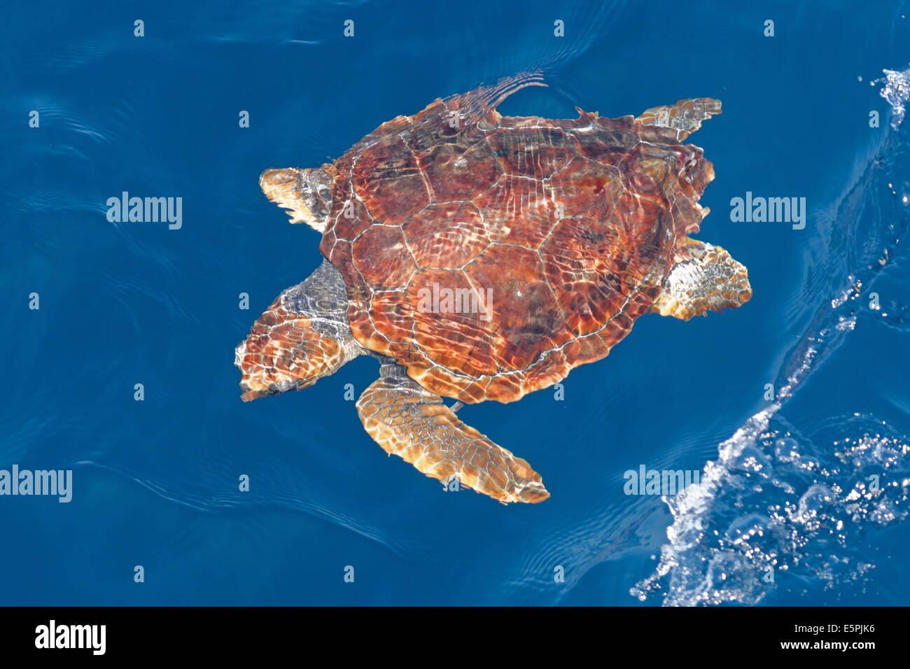 Juvenile loggerhead turtle (Caretta caretta), oceanic stage, below surface in deep water, Northeast Atlantic, offshore Morocco Stock Photo