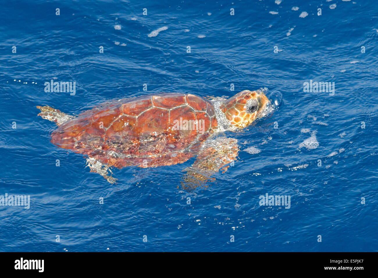 Juvenile loggerhead turtle (Caretta caretta), oceanic stage, breathing at the surface, Northeast Atlantic, offshore Morocco Stock Photo