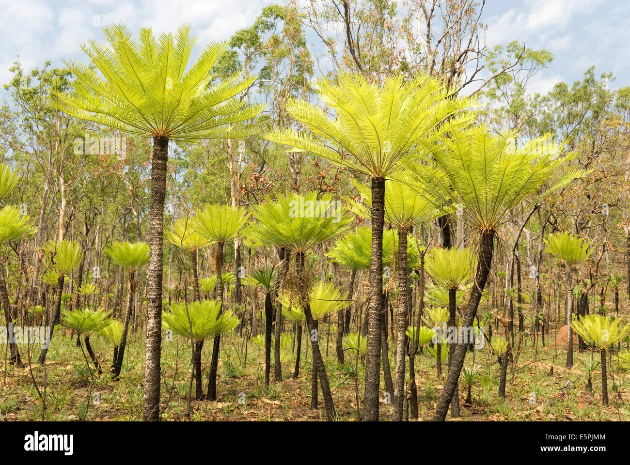 Dicksonia tree ferns in Litchfield National Park, Northern Territory, Australia, Pacific - Stock Image