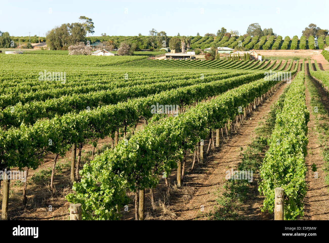 Giant vineyards, Renmark, Murray River valley, South Australia, Australia, Pacific - Stock Image