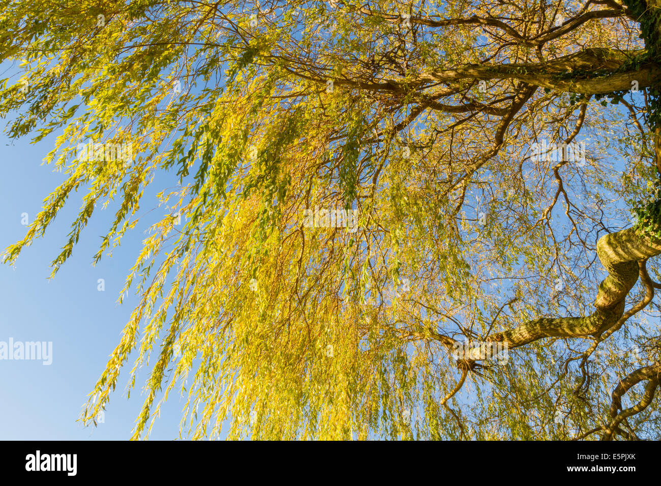 Looking up from below a yellow weeping willow tree in autumn, England, UK - Stock Image