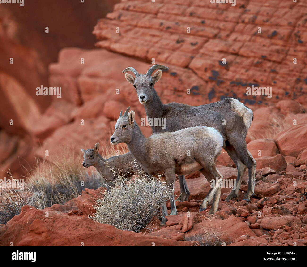 Desert Bighorn Sheep (Ovis canadensis nelsoni) ewe and two lambs, Valley of Fire State Park, Nevada, United States Stock Photo