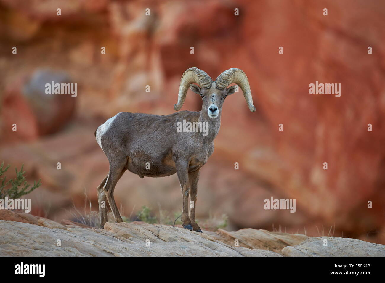 Nevada Desert Bighorn Sheep High Resolution Stock Photography And Images Alamy