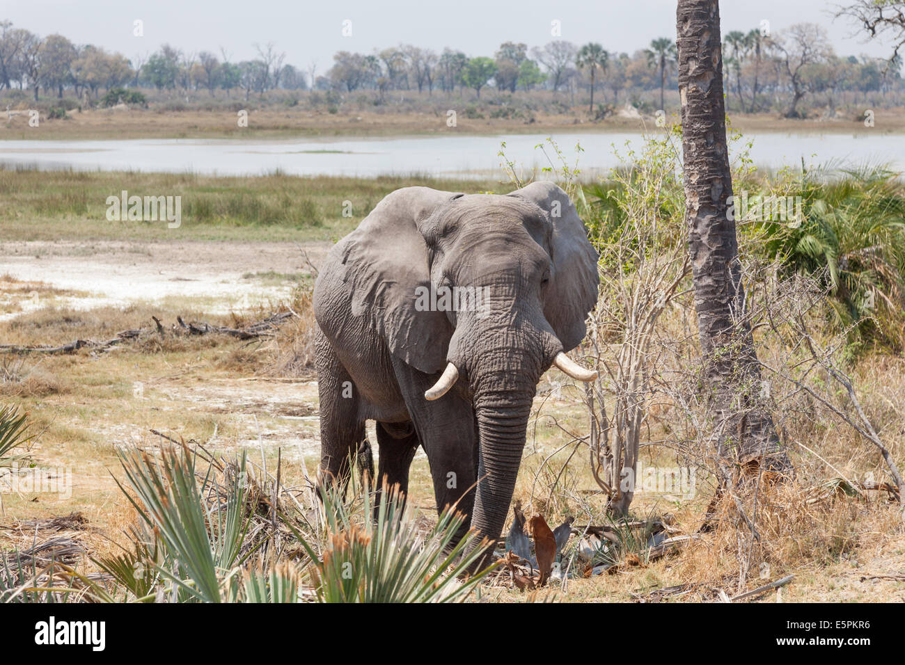 Afican bush elephant with impressive tusks, standing near water in the Okavango Delta, Botswana - Stock Image