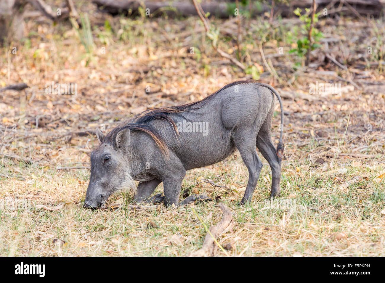 Common warthog, Phacochoerus africanus, in characteristic kneeling position to feed, Okavango Delta, Botswana - Stock Image