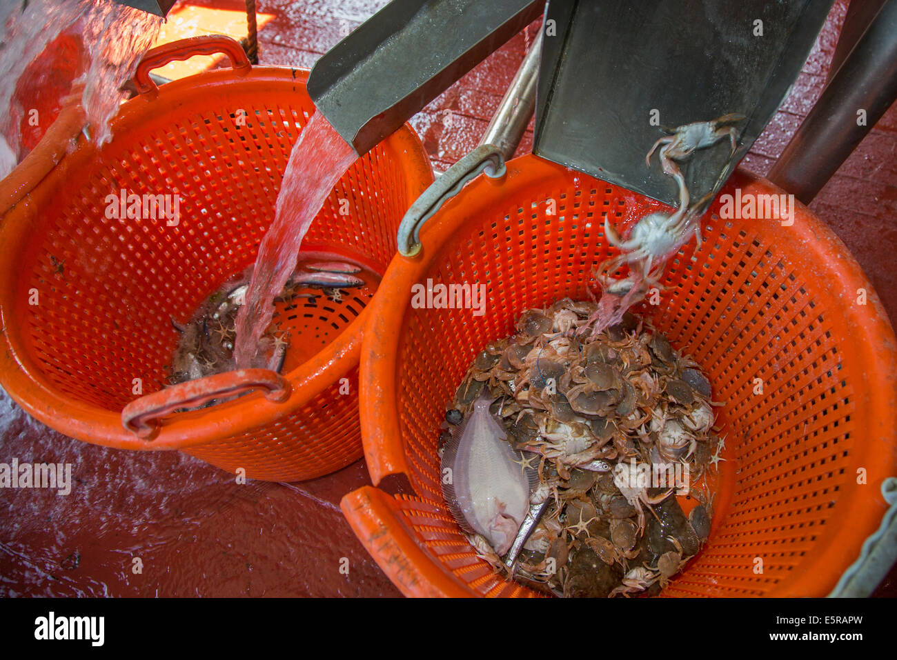 Bycatch like small fish and crabs sorted in plastic baskets on shrimp boat fishing for shrimps on the North Sea - Stock Image