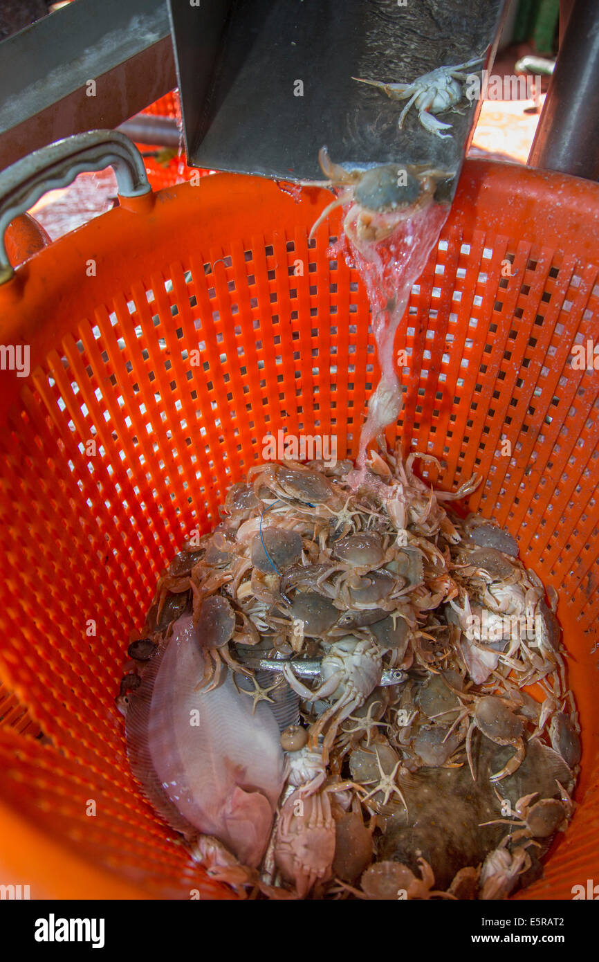 Bycatch like small fish and crabs sorted in plastic basket on shrimp boat fishing for shrimps on the North Sea - Stock Image
