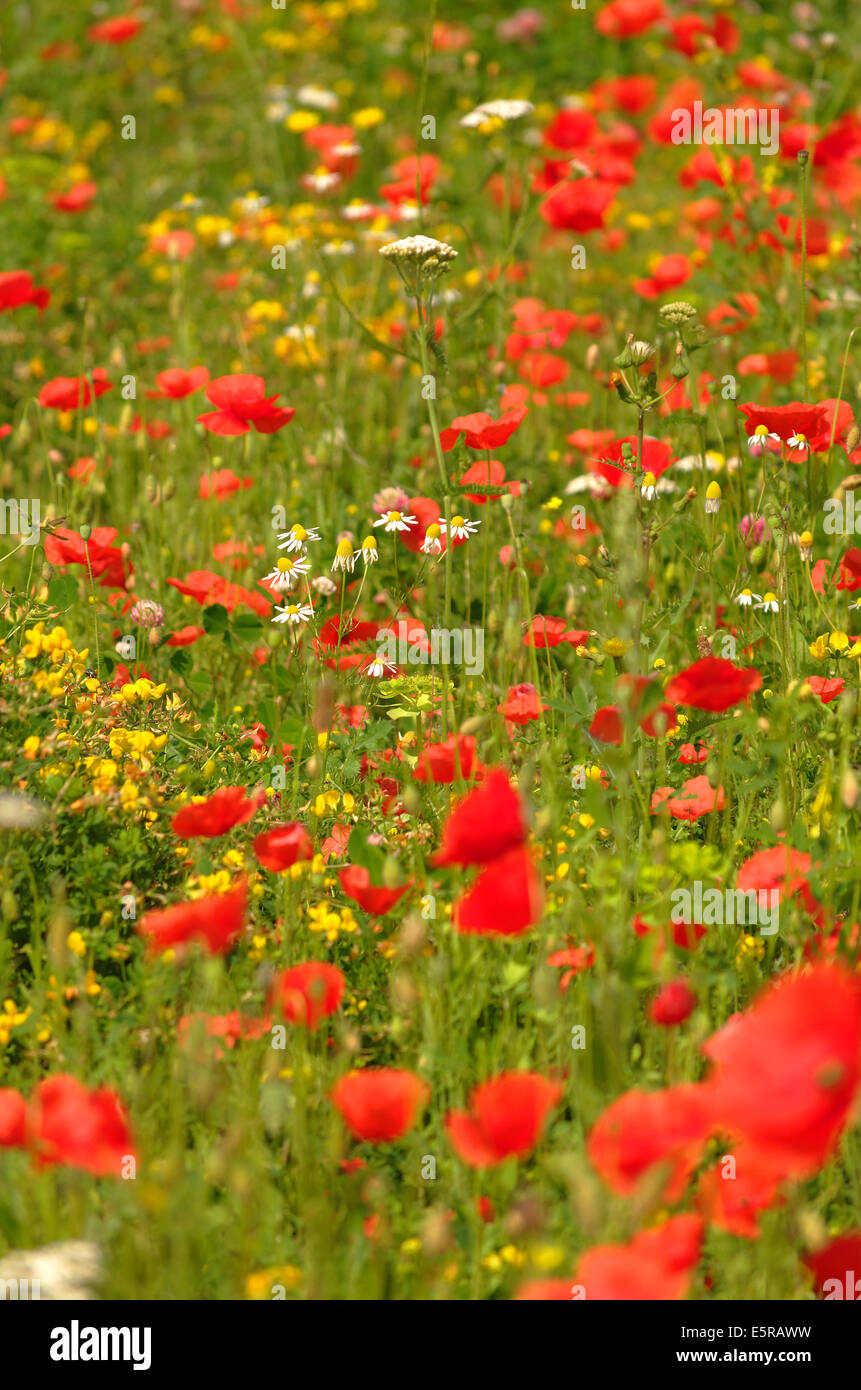 Meadow flowers, Poppies, Chamomile, Daisies & Buttercups - Stock Image