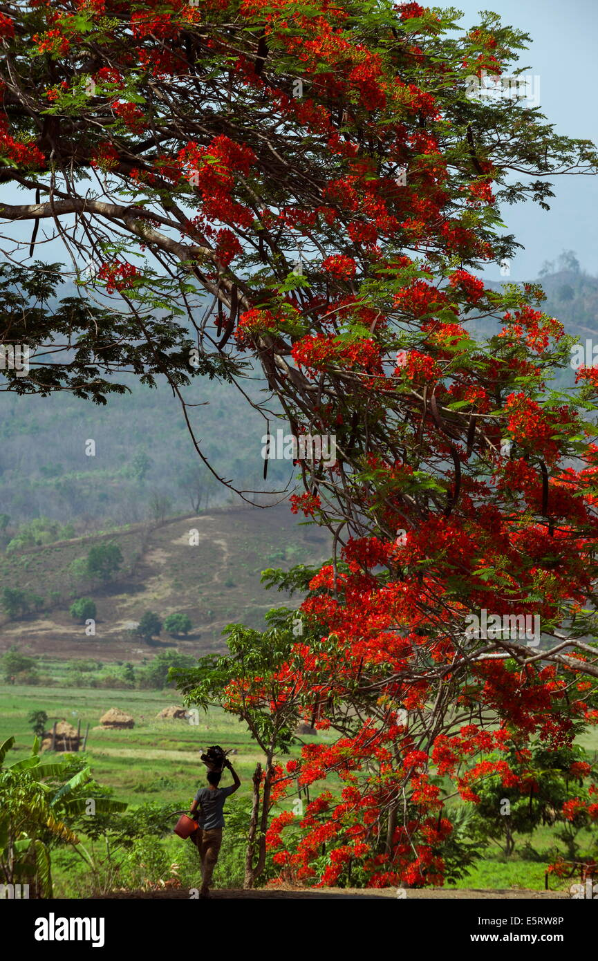Flame tree, near Kangyi, Magway Division, Myanmar. - Stock Image