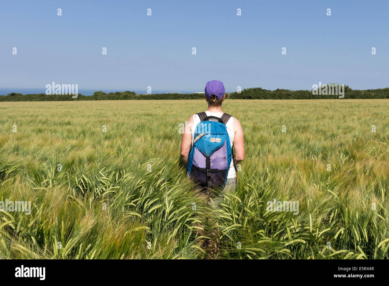 Walker on a Public Footpath Obstructed with Crops Near Boscastle in Cornwall England - Stock Image